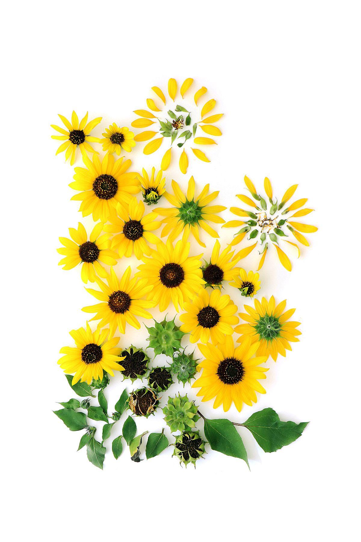 wild sunflower (mary jo hoffman) in 2019.