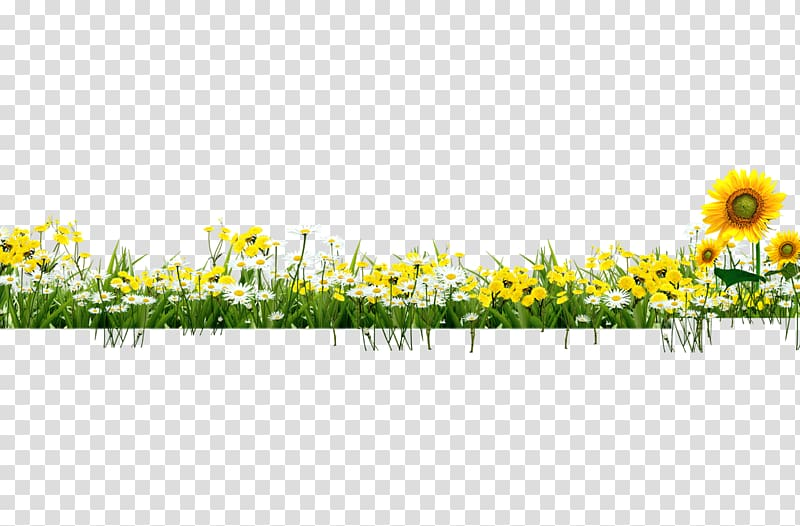 Yellow and white daisy and sunflowers illustration, Sun.