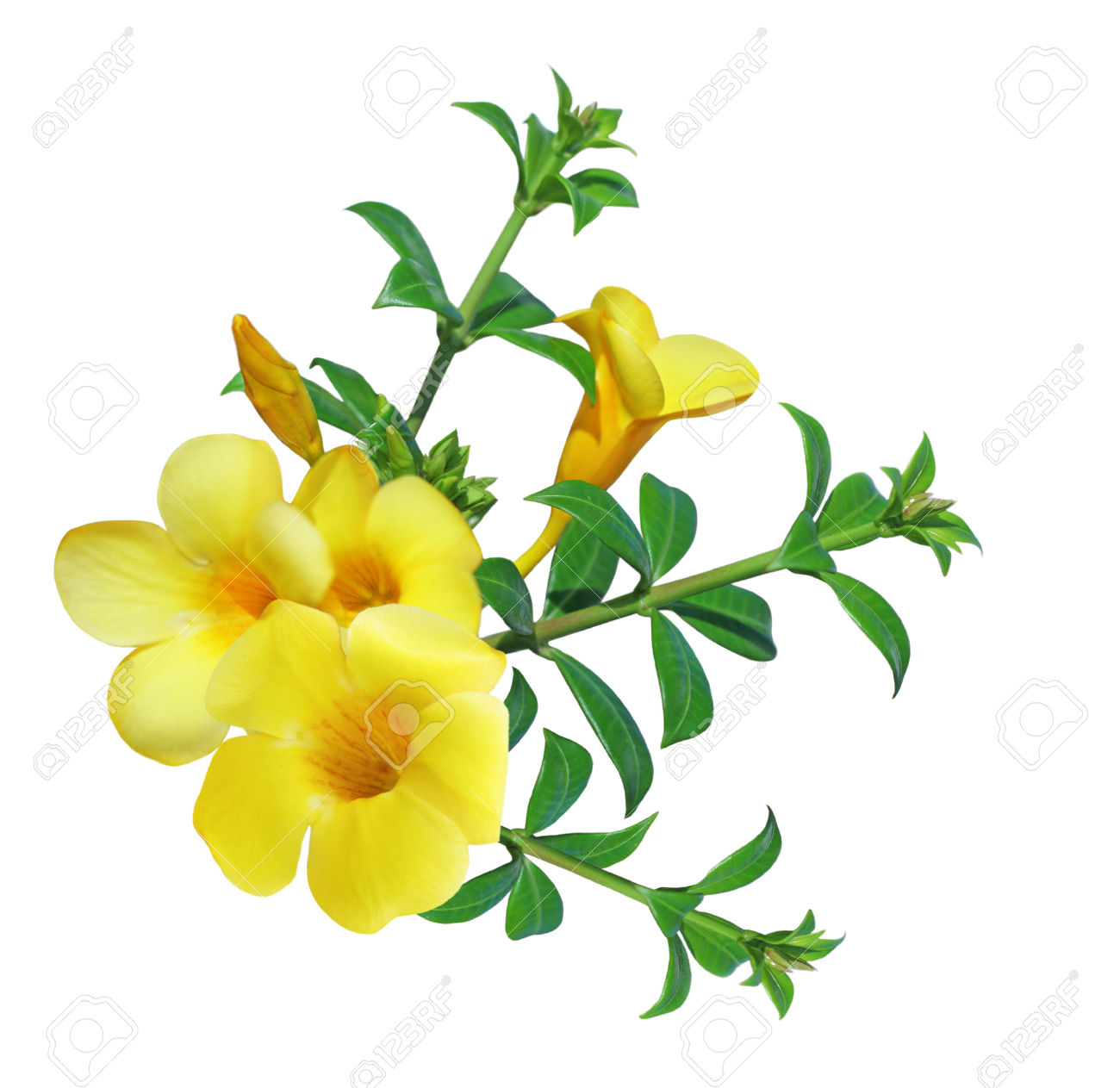 Allamanda Flower ( Yellow Bell) Isolated On White Background Stock.