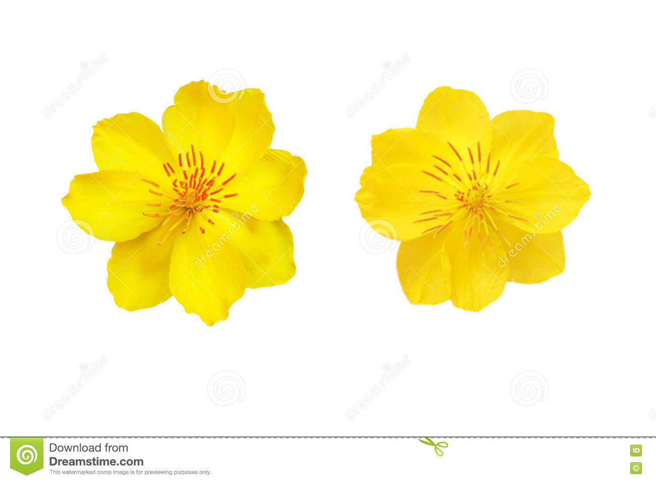 Yellow Apricot Blossom Closeup Isolated On White Stock Photo.