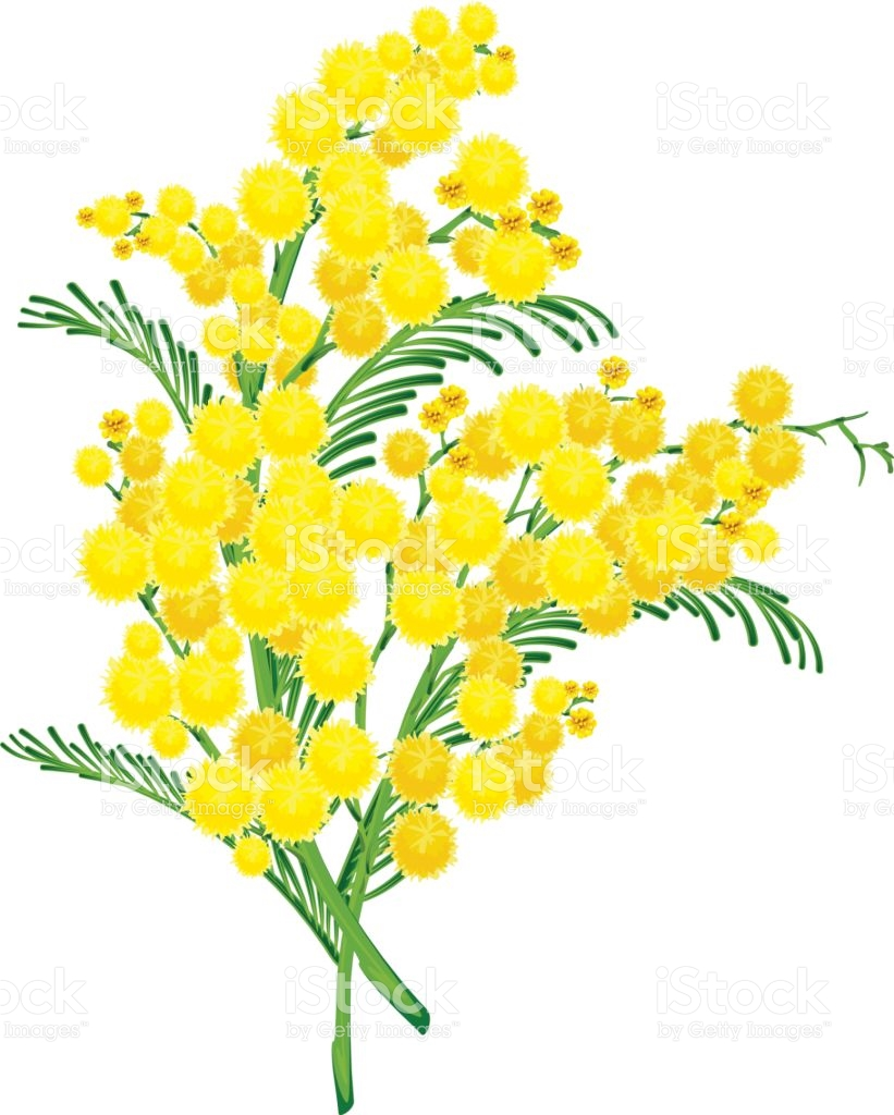 Yellow Acacia Blossom Branch Flower stock vector art 641245396.