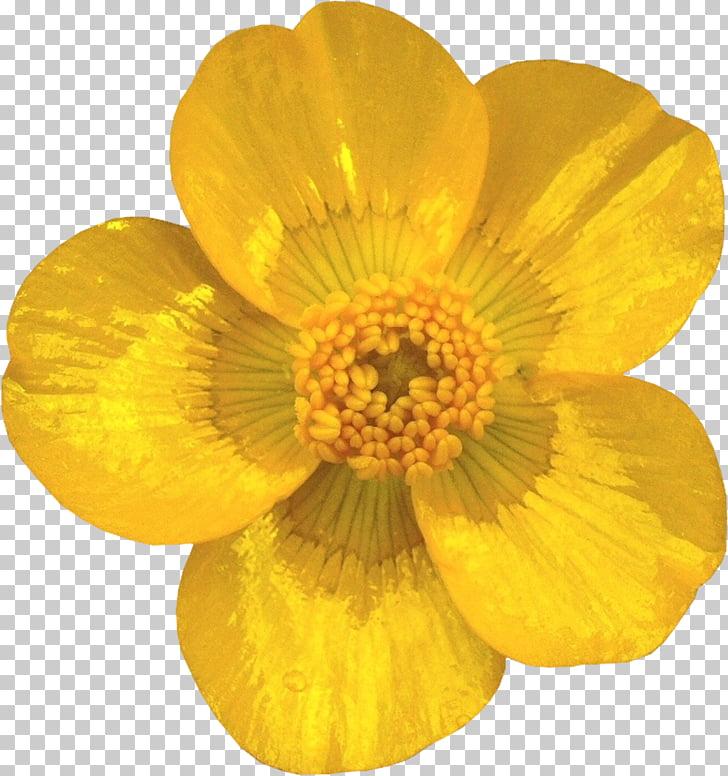 Cut flowers Petal Buttercup Transvaal daisy, YELLOW PNG.