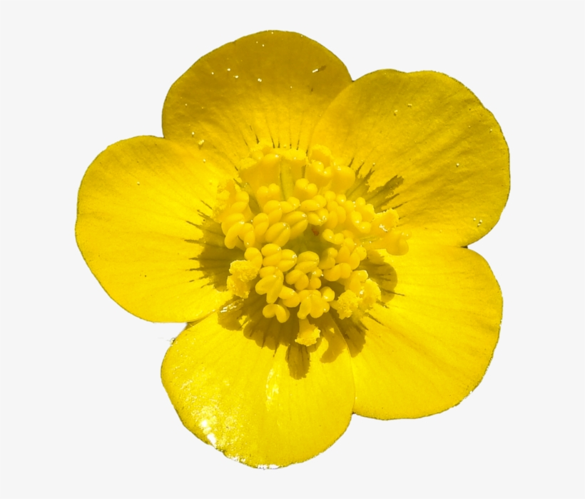 Download Free png Buttercup Png By Bunny.