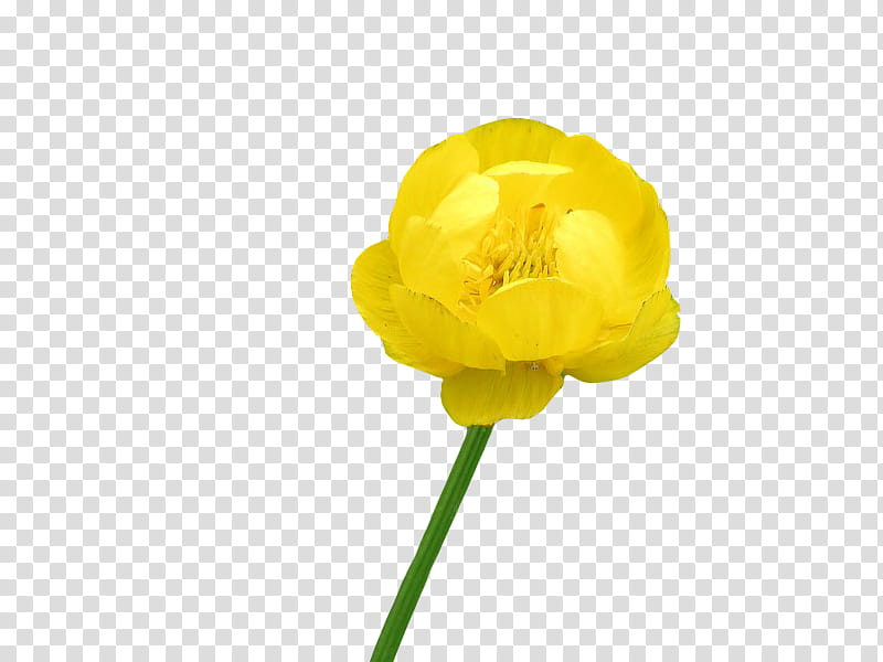 yellow buttercup flower in bloom transparent background PNG.