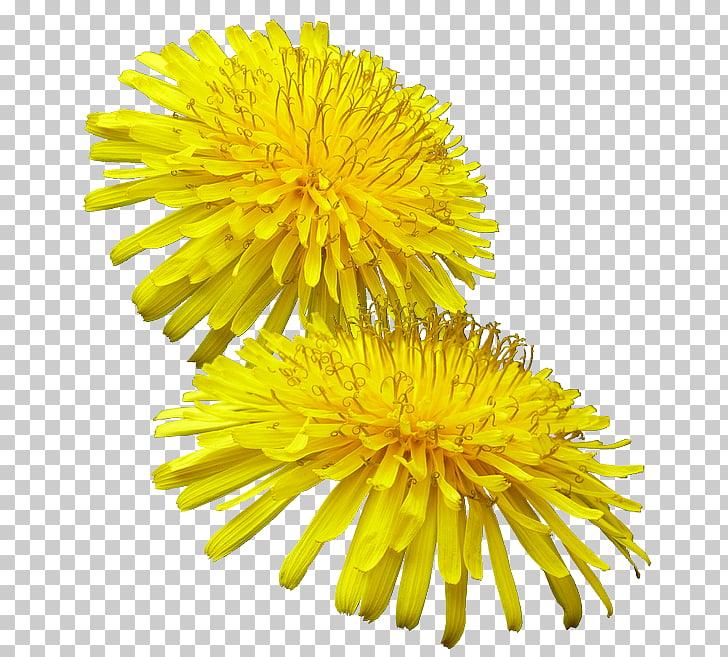 Pissenlit Common Dandelion Yellow Buttercup Weed, Myosotis.