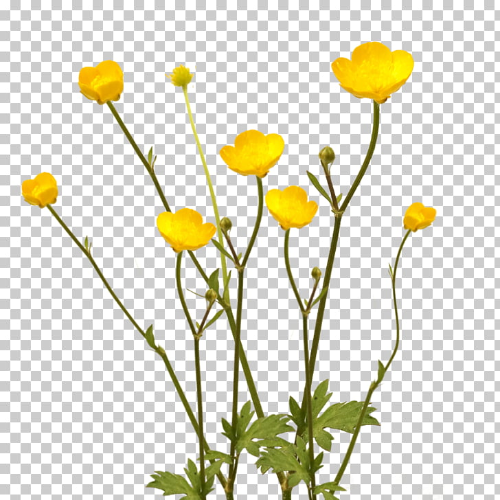 Flower Plant Buttercup Desktop Anemone coronaria, paper.