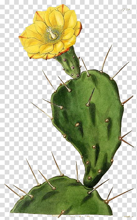Cactus flower, blooming yellow cactus flower transparent.