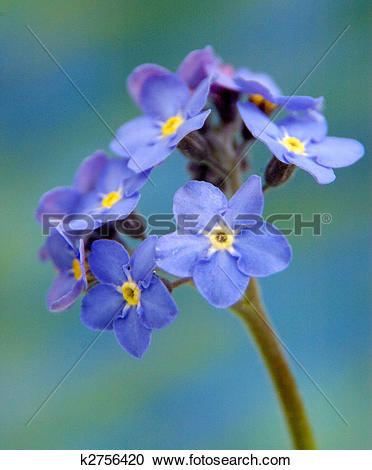 Stock Photography of BLUE FLOWER WITH YELLOW CENTRE (star flower.