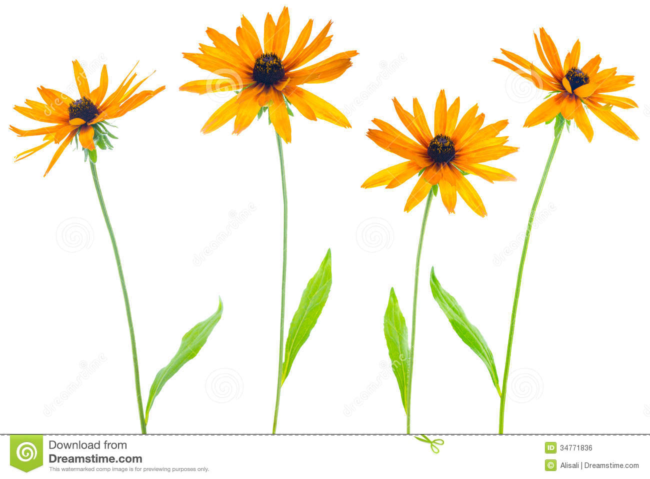 Four Flower Yellow Coneflower Royalty Free Stock Image.