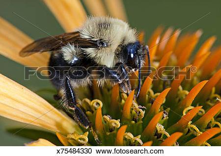 Stock Photography of Bumble Bee (Bombus bimaculatus) feeding on.