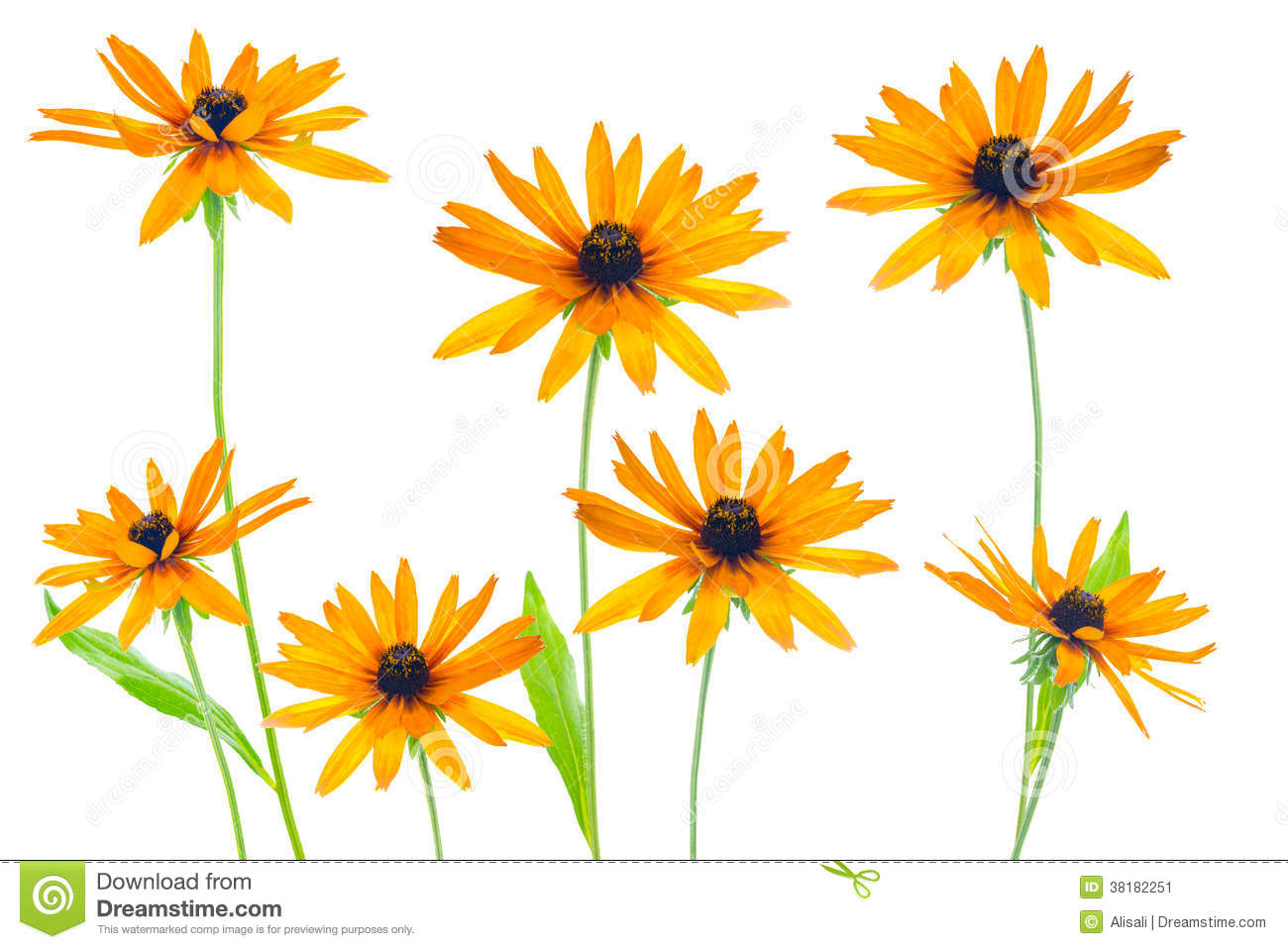 Flower Yellow Coneflower The Isolated Stock Image.