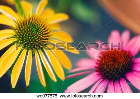 Stock Image of Yellow and Pink Coneflower Duo. Echinacea hybrid.