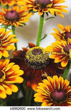 Stock Photography of Yellow coneflower k8962600.