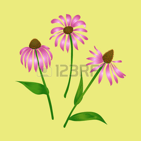 170 Coneflower Stock Vector Illustration And Royalty Free.