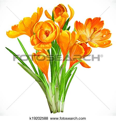 Clip Art of Spring yellow crocuses on the vine isolated on white.