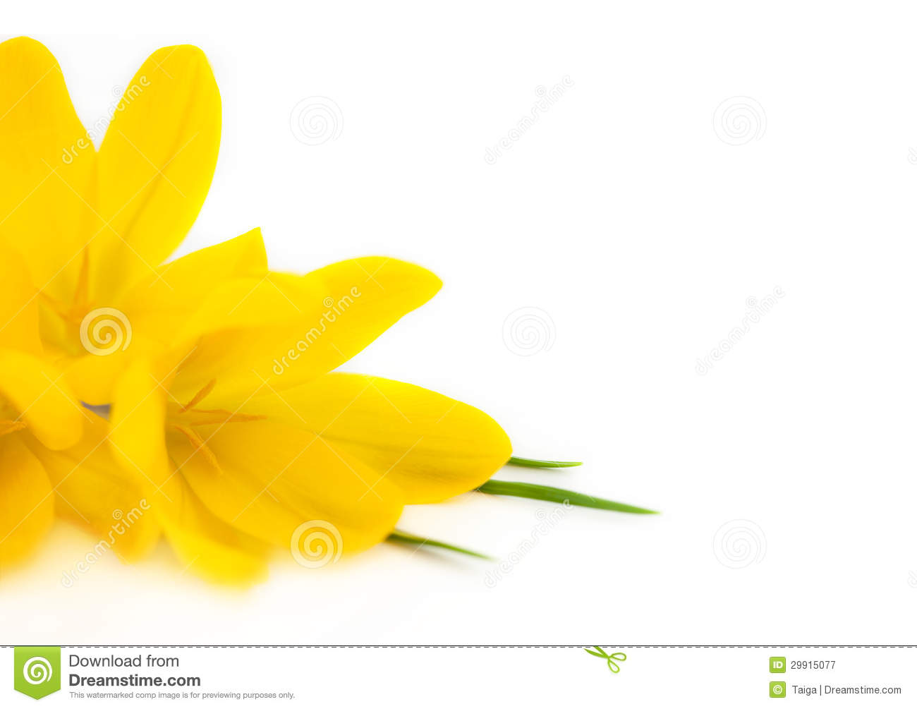 Yellow Crocus / Spring Flowers Royalty Free Stock Photography.