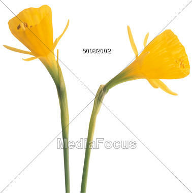 Gallery For > Yellow Crocus Clipart.