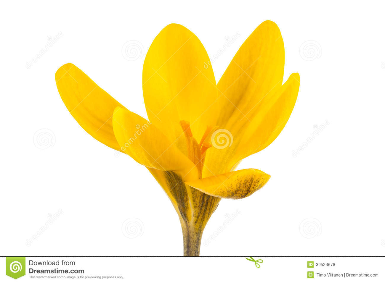 Yellow crocus clipart - Clipground
