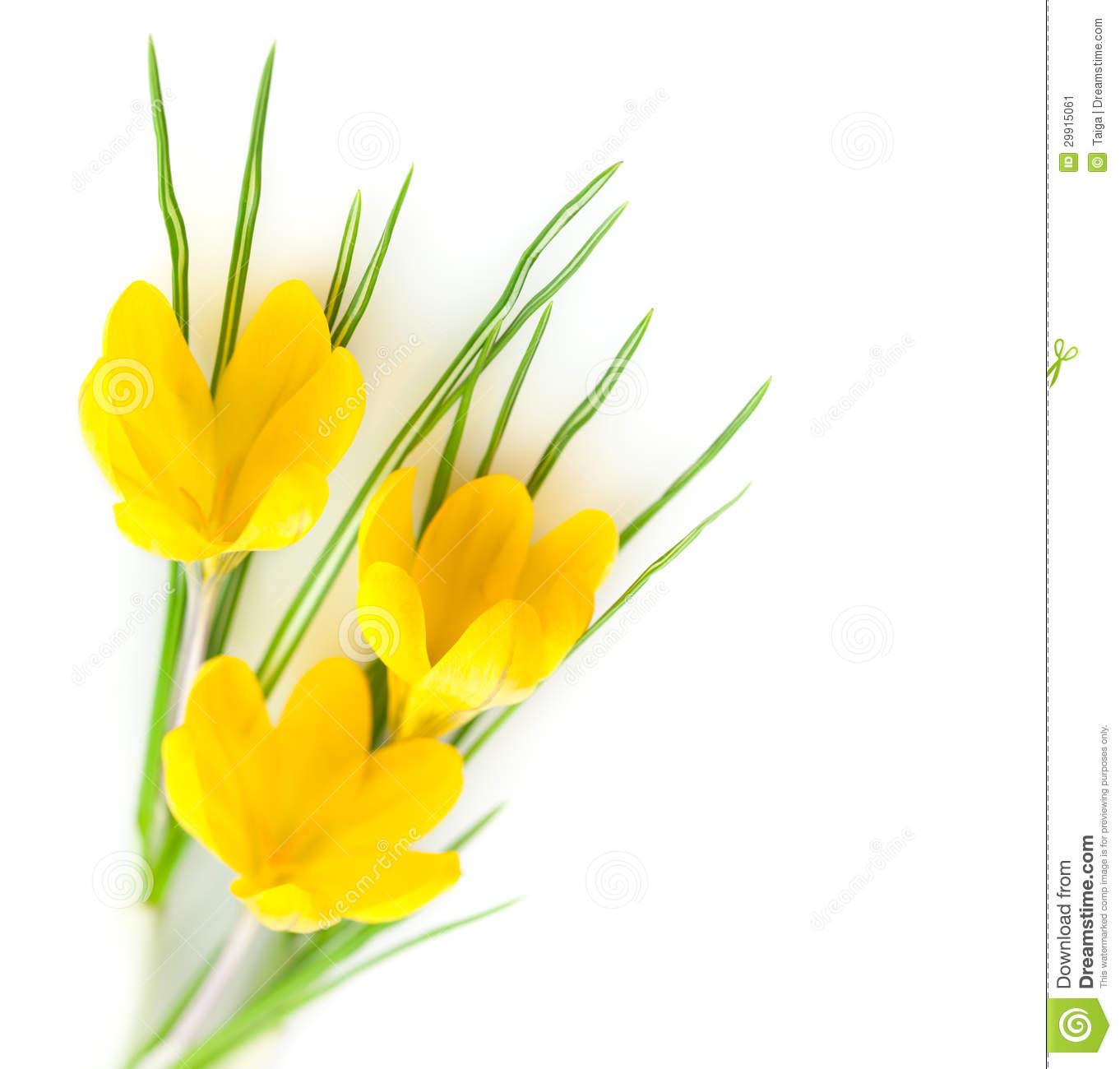 Spring Yellow Flowers / Crocuses Stock Image.