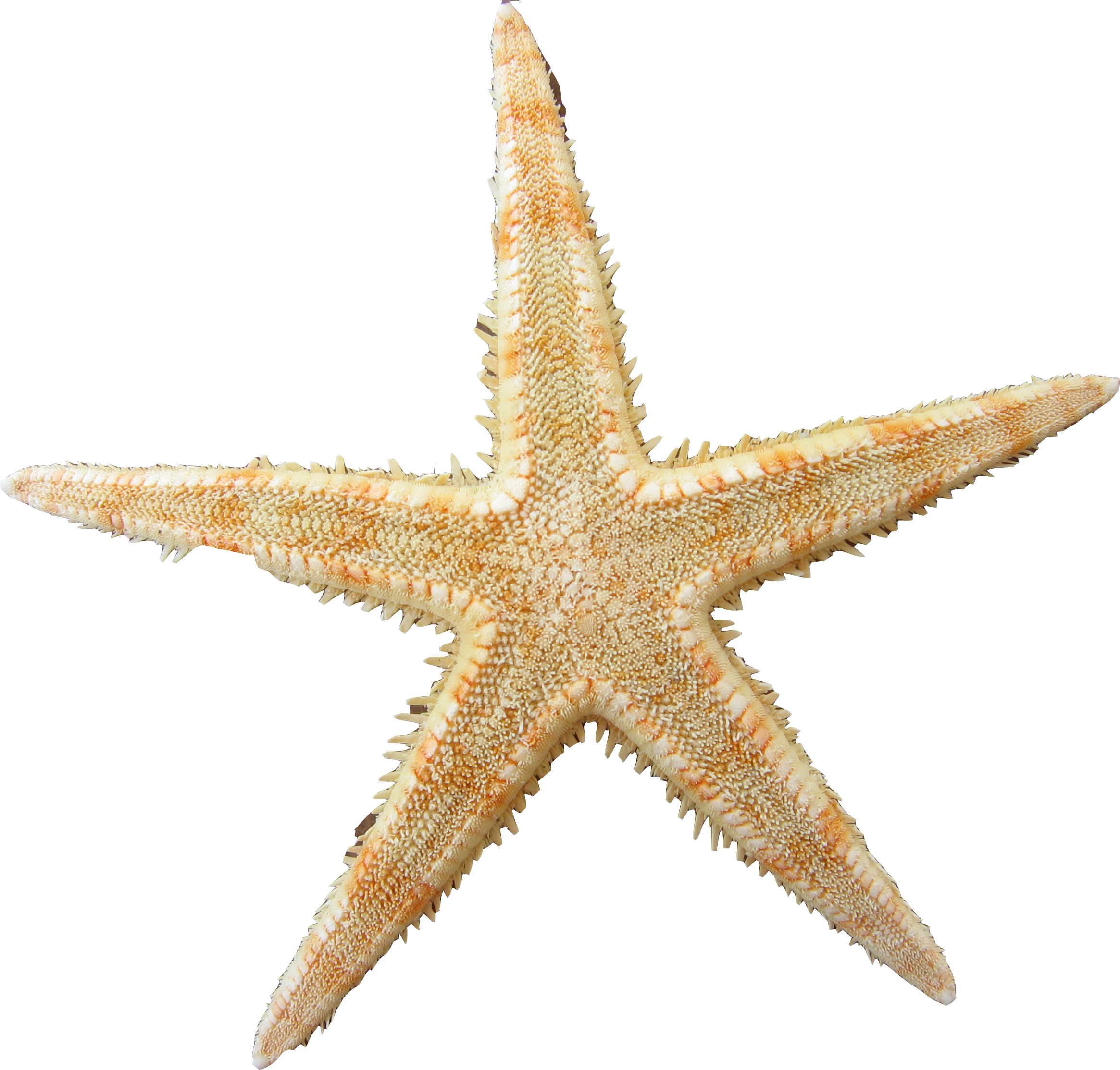 Yellow Clipart Sea Star.