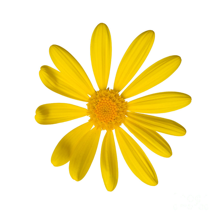Yellow Daisy Pictures.