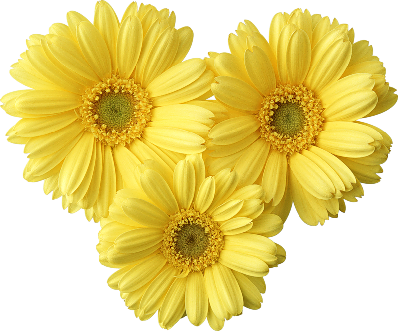 Yellow Gerbers Daisy PNG Picture.