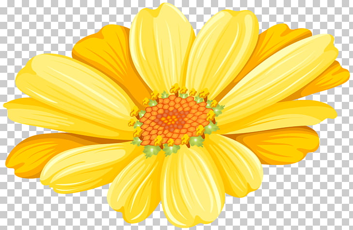 Transvaal daisy Chrysanthemum Argyranthemum frutescens.