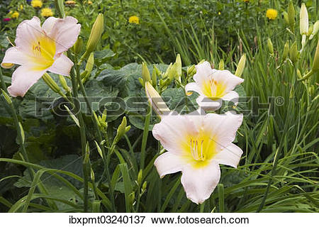 "Picture of ""Pink and yellow daylilies (Hemerocallis), flowers."