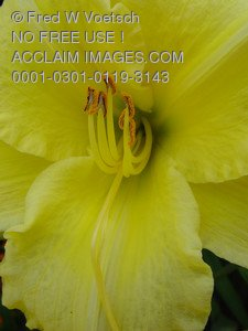 Stock Photo Clip Art of a Yellow Daylily.