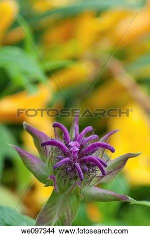 Stock Photo of A Monarda beginning to bloom in front of some.