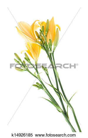Stock Image of daylilies k14926185.