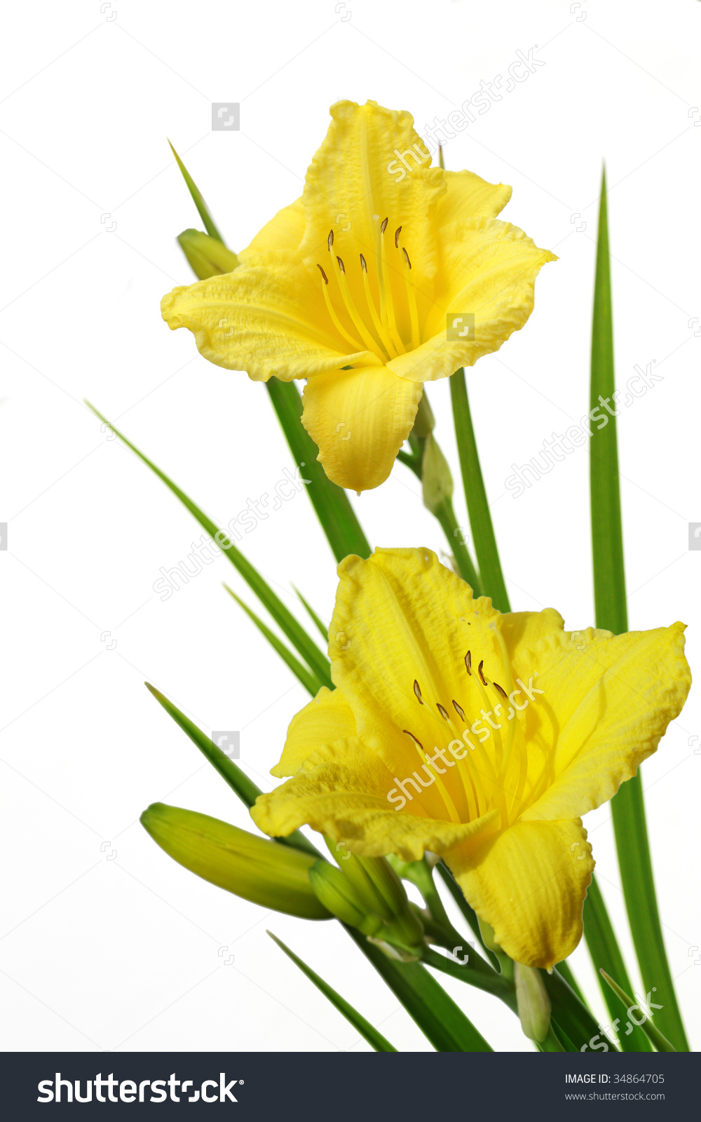 Bundle Of Yellow Daylily Flower Isolated On White Stock Photo.