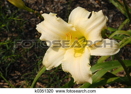 Stock Photography of Pale Yellow Daylily k0351320.