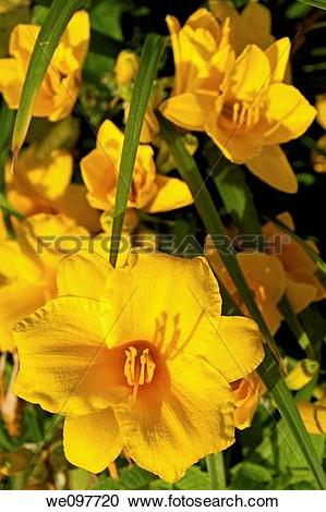 Stock Photography of A batch of bright yellow Stella D?Oro.