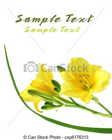 Stock Photos of Yellow Daylilies.