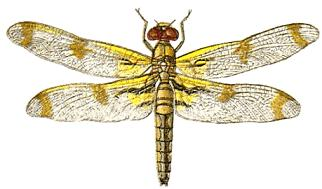 Dragonfly clipart microsoft.