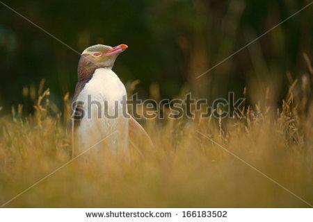 Yellow Eyed Penguin Stock Photos, Royalty.