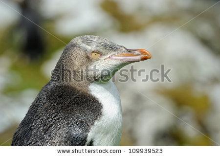 Yellow Eyed Penguin Banco de Imagens, Fotos e Vetores livres de.