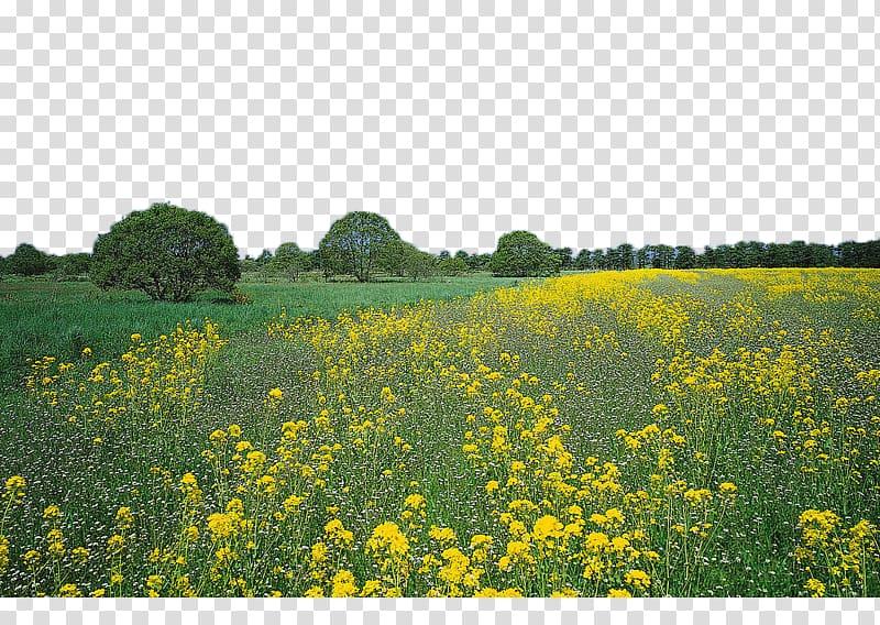 No Ha Ni Te YouTube, Rape flower field transparent.