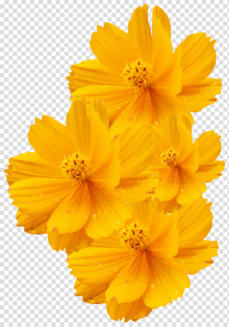 Yellow flowers, Cosmos sulphureus Cosmos bipinnatus Yellow Flower.