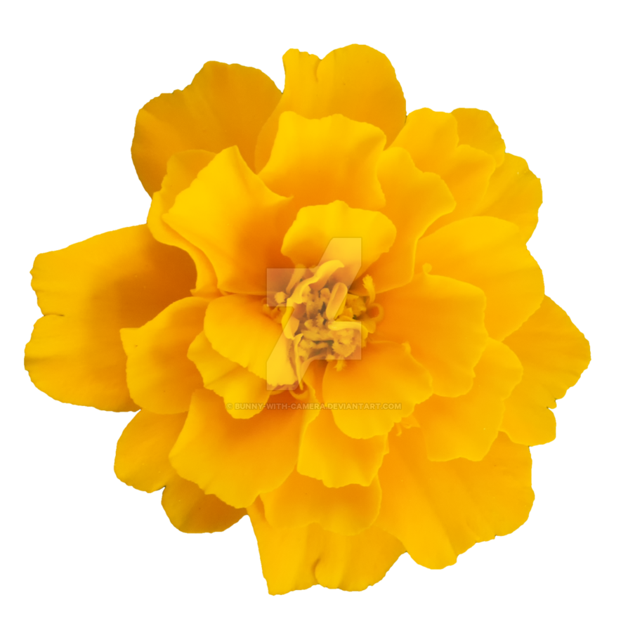 Yellow Flower PNG by Bunny.