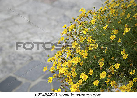 Stock Photography of A Yellow Flower And A Stone Pavement.