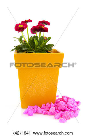 Stock Photography of Pink Bellis in yellow flower pot with pink.