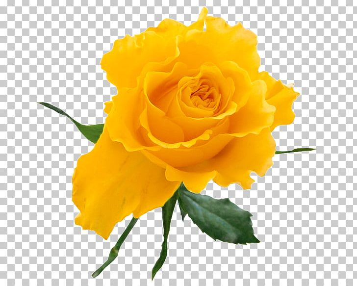Rose Yellow Flower Bouquet PNG, Clipart, Bud, Clipart, Clip.