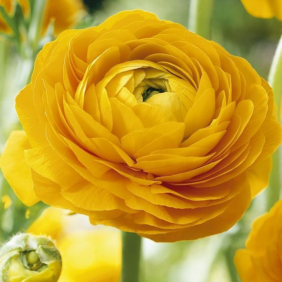 17 best ideas about Yellow Flowers on Pinterest.