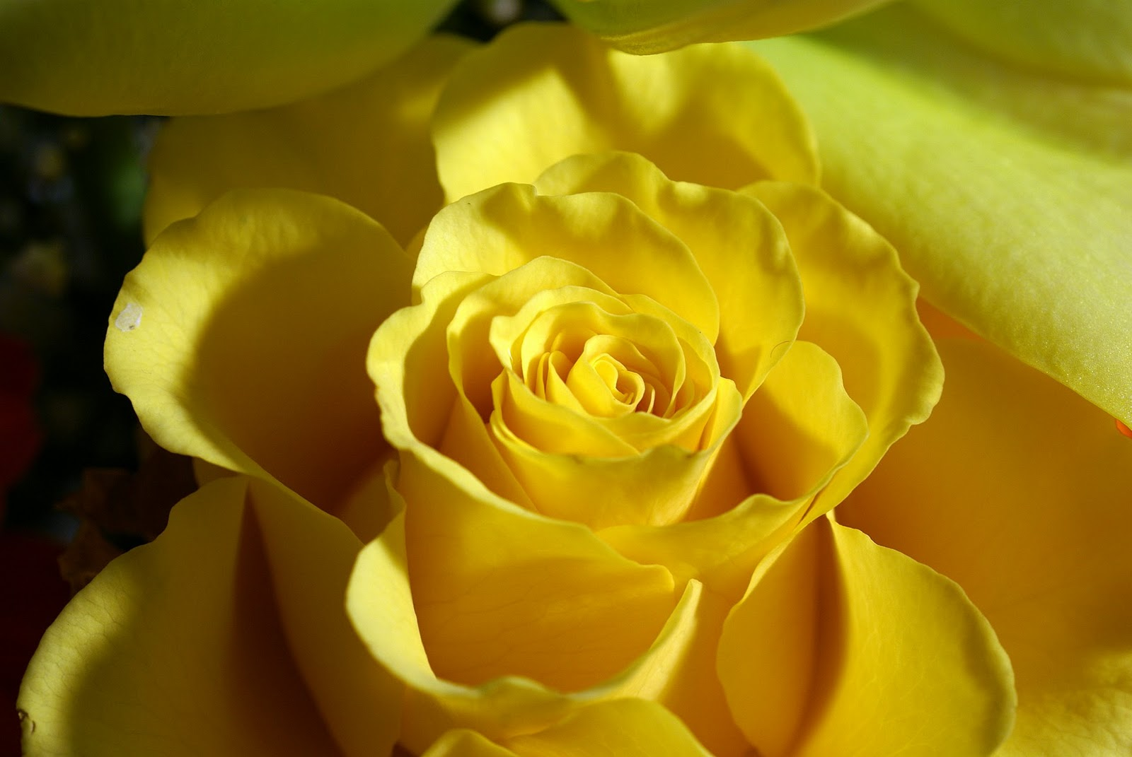 Yellow Flowers Wallpapers HD Pictures.