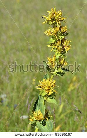 Yellow Gentian Stock Photos, Royalty.