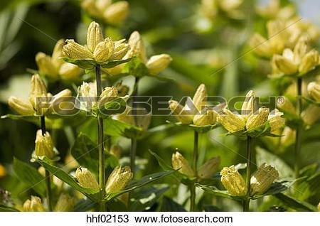 Stock Photo of Great Yellow Gentian flowers (Gentiana lutea.