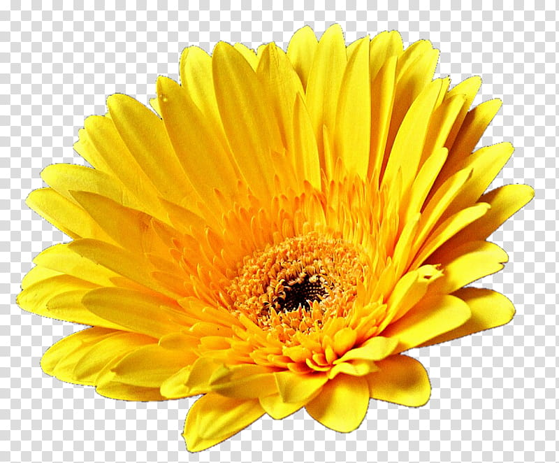 Yellow Gerber Daisy transparent background PNG clipart.
