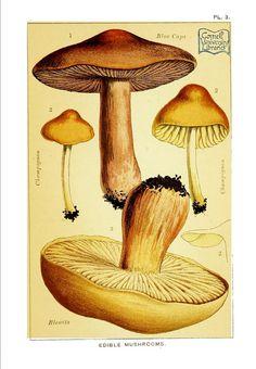1891 Shaggy Ink Cap, Inky Cap Fungus and Mica Cap Mushroom.
